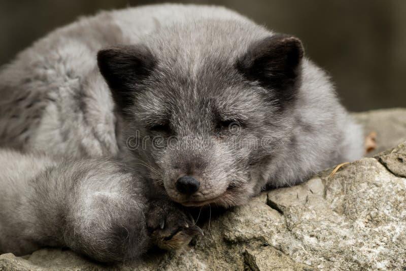 Een jonge polaire vos rust op een rots royalty-vrije stock fotografie