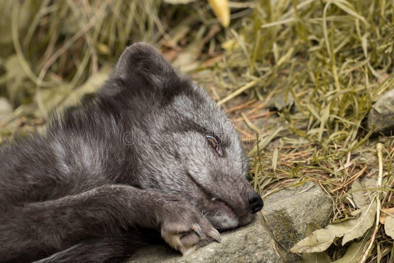 Een jonge polaire vos rust op een rots stock fotografie