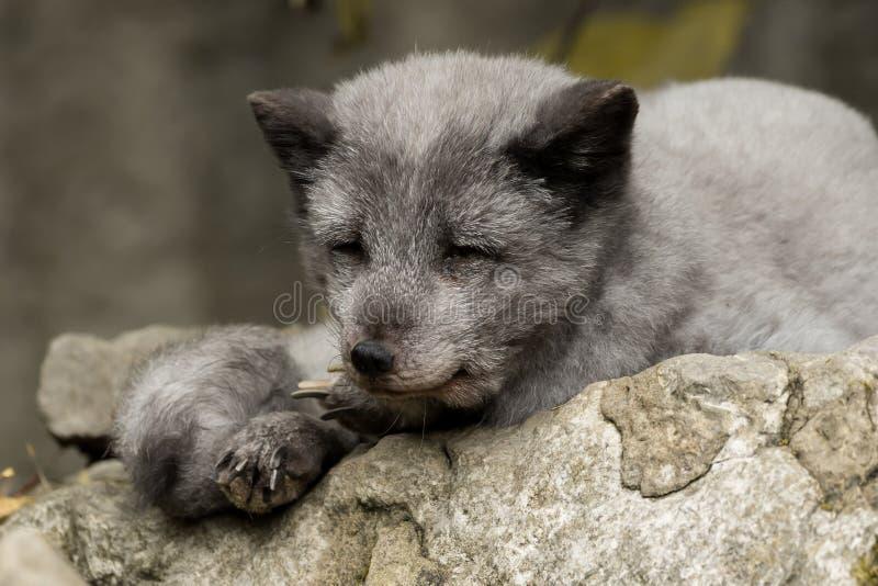 Een jonge polaire vos rust op een rots royalty-vrije stock afbeeldingen