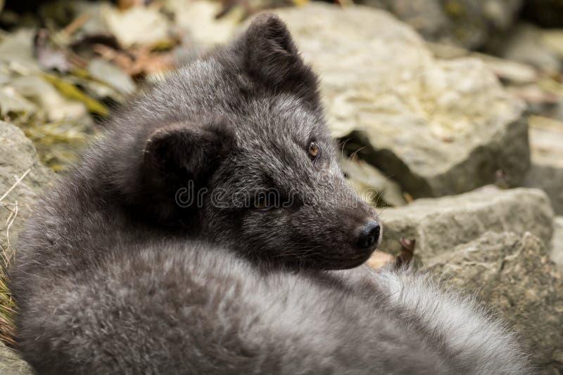 Een jonge polaire vos rust op een rots royalty-vrije stock foto
