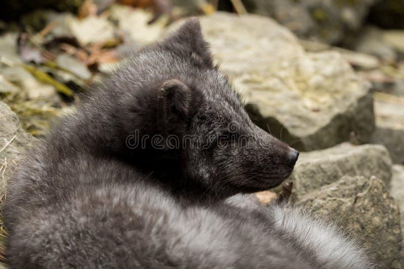 Een jonge polaire vos rust op een rots stock afbeelding