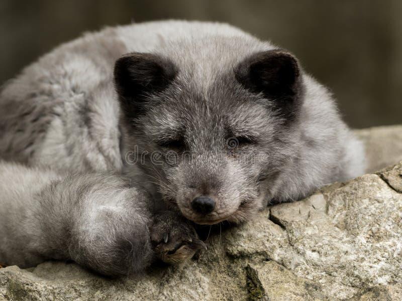 Een jonge polaire vos rust op een rots stock afbeeldingen