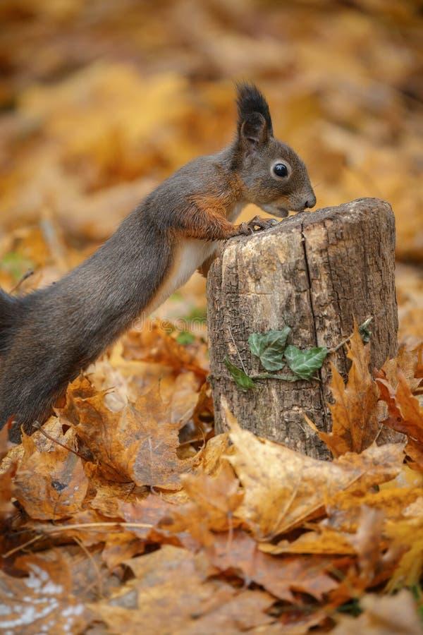 Een jonge rode eekhoorn in de herfst stock foto's