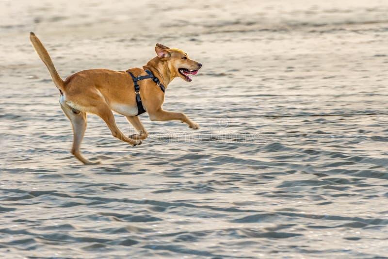 Een jonge roodharige mooie sterke hond met kort haar en open mond in zwarte uitrustingslooppas langs het strand royalty-vrije stock foto