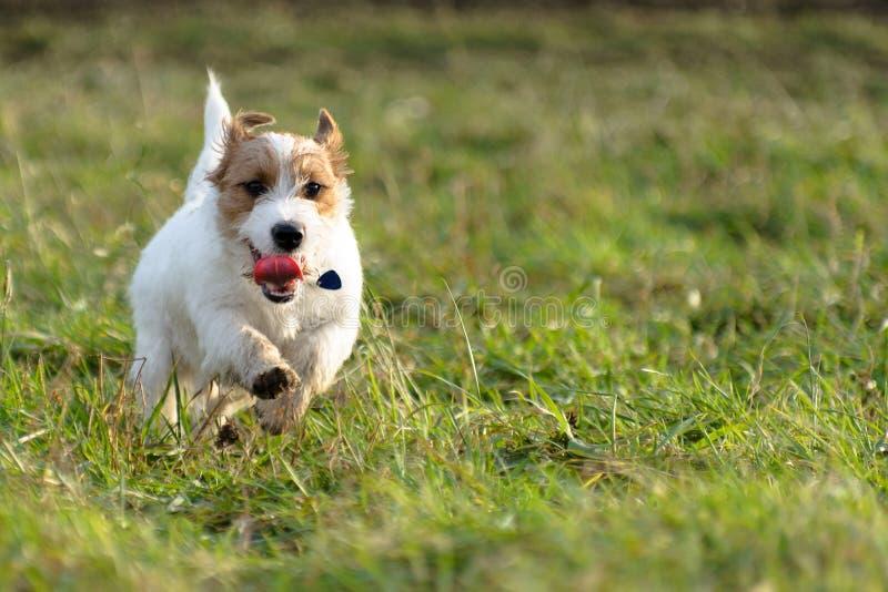 Een jonge, speelse terriërlooppas van hondjack russell op een weide in de herfst royalty-vrije stock foto's