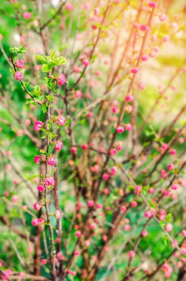 Een jonge struik van een roze thee nam, knoppen van rozen, een concept de lente, natuurlijk behang toe royalty-vrije stock afbeelding