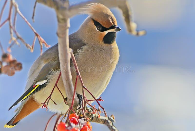 Heldere vogel Waxwing op een tak van de Lijsterbes met de rode bessen. De winter. stock foto