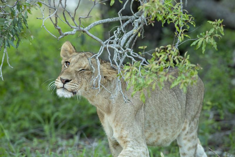 Een jonge vrouwelijke leeuw die haar gezicht op een boomtak wrijven stock afbeeldingen