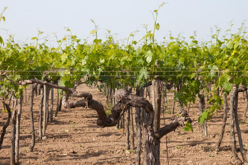 Een jonge wijngaard in het zuiden van Italië stock foto