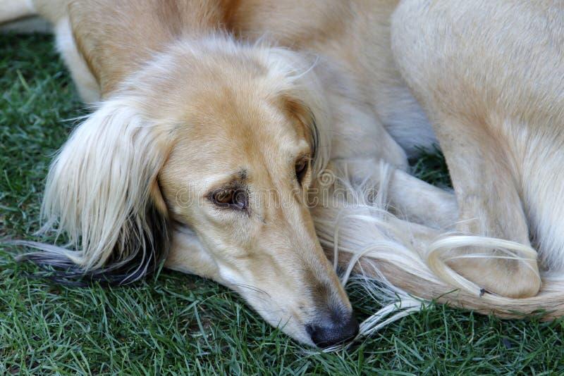 Een jonge windhond in rust positie stock afbeeldingen
