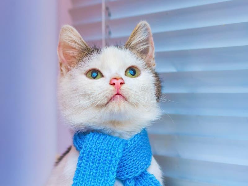 Een jonge witte kat in een blauwe sjaal dichtbij het venster met jalou royalty-vrije stock afbeeldingen