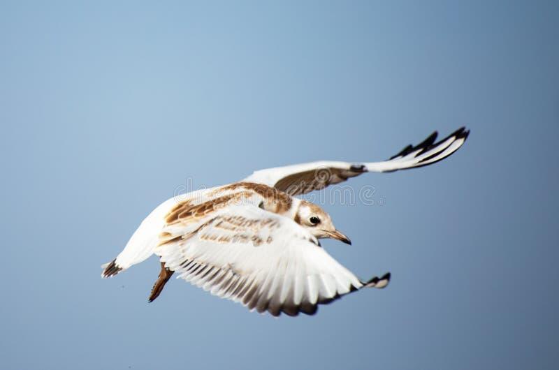 Een jonge zeemeeuw vliegt over het overzees royalty-vrije stock fotografie