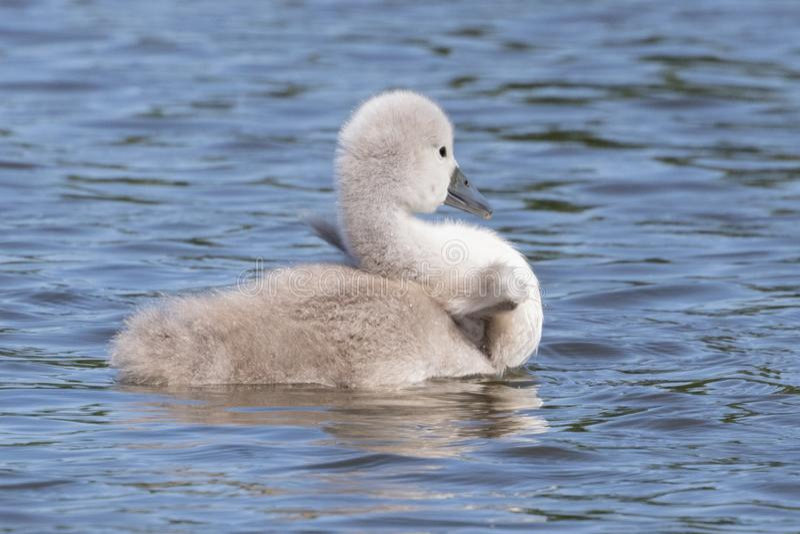 Een jonge zwaan op het water stock fotografie