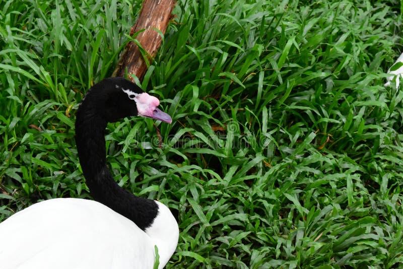 Een jonge zwarte necked zwaan - rustende tijd royalty-vrije stock afbeelding