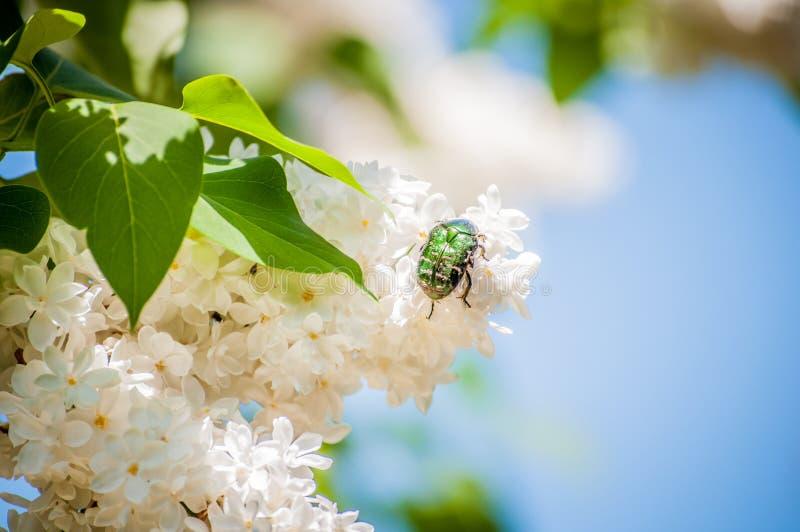 Een junikeverzitting op witte lilac bloemen stock fotografie