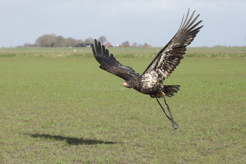 Een juveniele Bald Eagle tijdens de vlucht stock fotografie