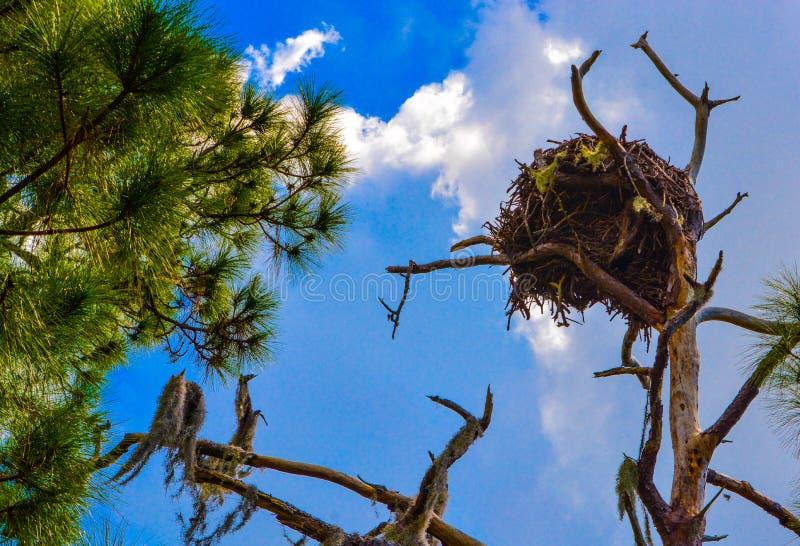 Een Kaal Eagles-Nest bij de Aquatische Reserve van de Citroenbaai in Cedar Point Environmental Park, Sarasota-Provincie Florida stock foto's