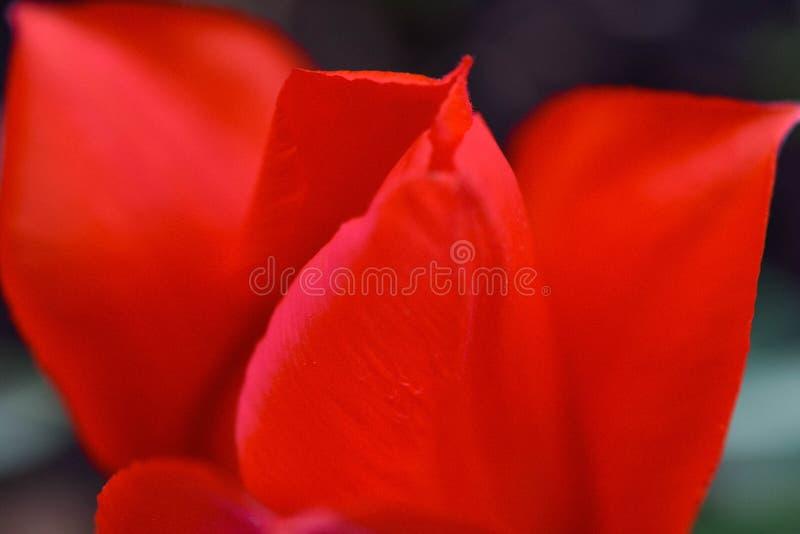 Een kaartbeeld van rode tulpen stock foto