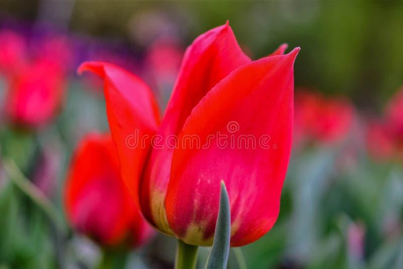 Een kaartbeeld van rode tulpen royalty-vrije stock foto's