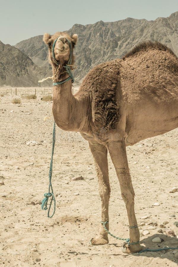 Een kameel in de woestijn royalty-vrije stock afbeeldingen
