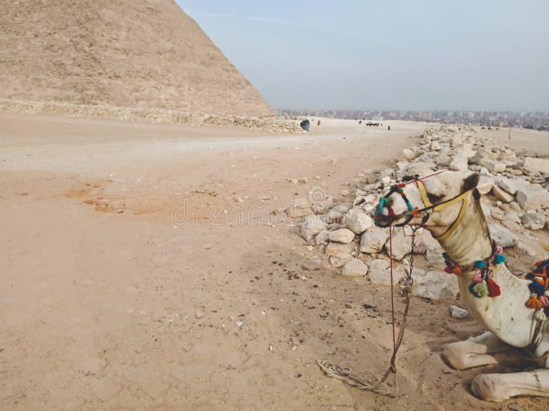 Een kameel dichtbij Grote Piramide in Giza, Egypte stock afbeelding