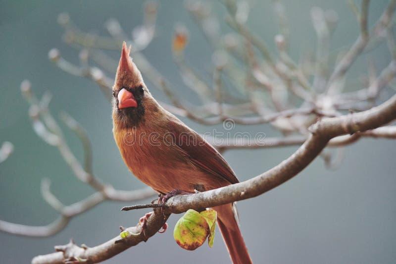 Een kardinaal die de boom in daling begeleiden stock foto