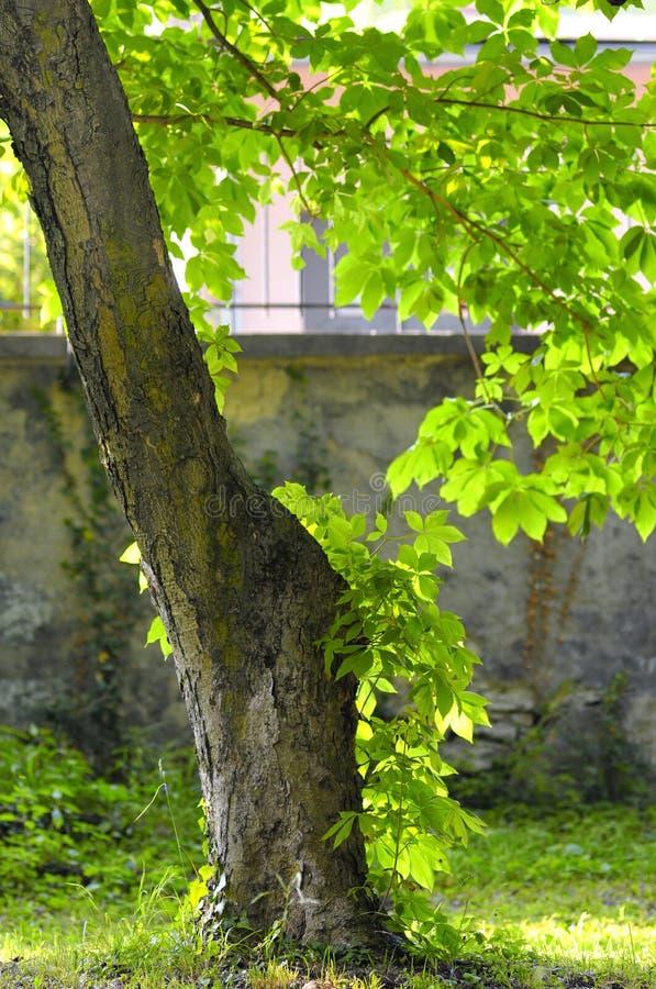 Een kastanjeboom in een backlight in een botanische tuin royalty-vrije stock afbeelding