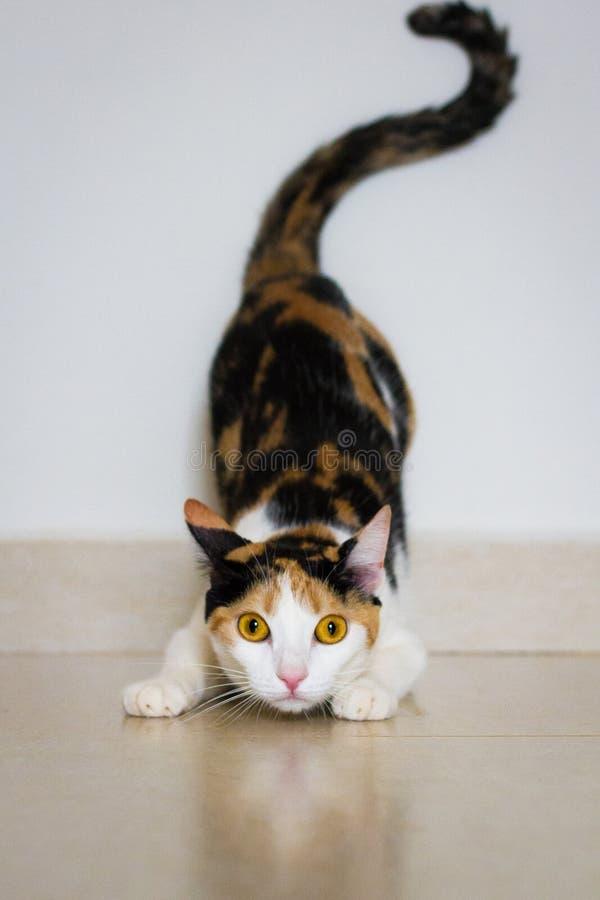Een kat klaar aan te vallen stock afbeelding