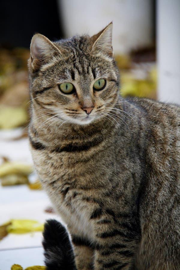 Een kat met een tijgerkleuring en groene ogen stock foto's