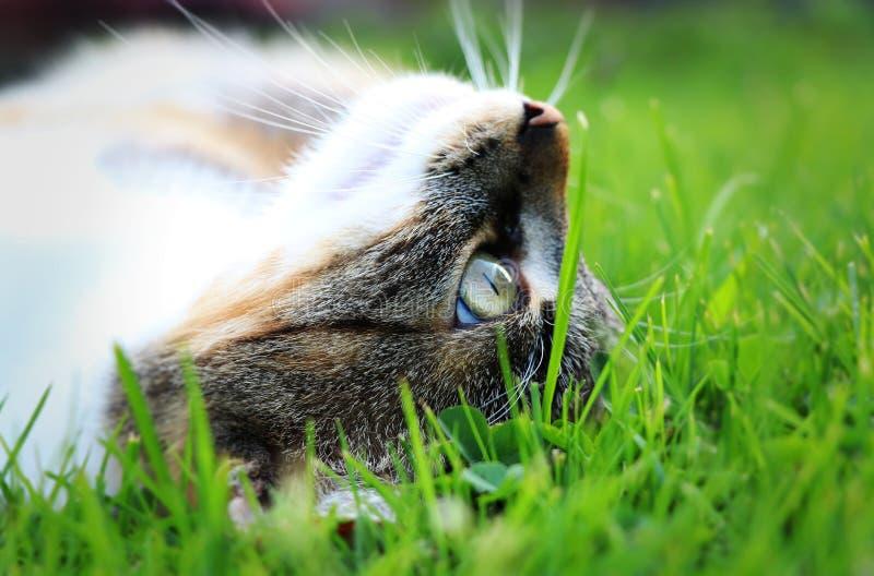 Een kattenhoofd van kant in het midden van gras Zij die na één of andere spel en harde dag ontspannen stock afbeelding