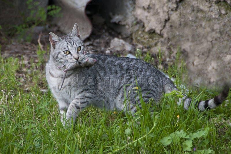 Een kattenjager met vangstmuis stock afbeeldingen
