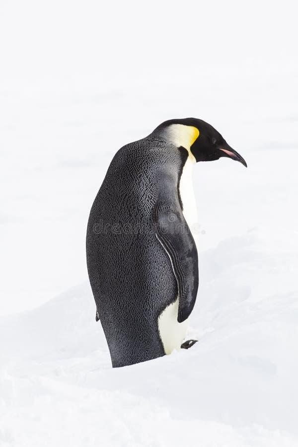 Een keizerpinguïn die opstaan royalty-vrije stock afbeeldingen