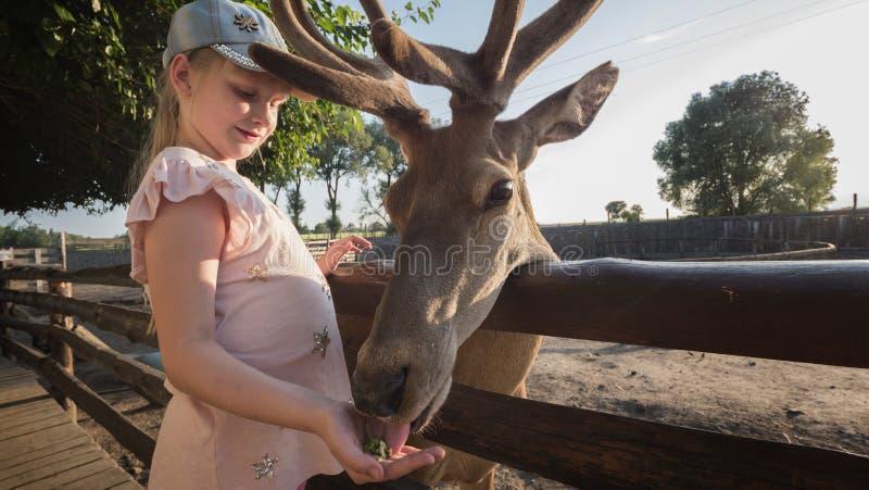 Een kind voedt een leuk hert dichtbij de omheining stock afbeelding