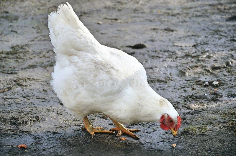 Een kip in de modder stock fotografie