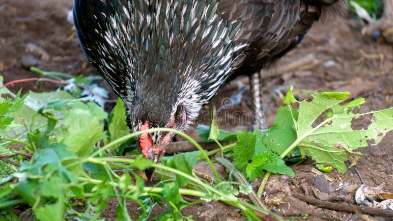 Een kip met donker gevederte pikt gras in een kippenhok royalty-vrije stock afbeelding