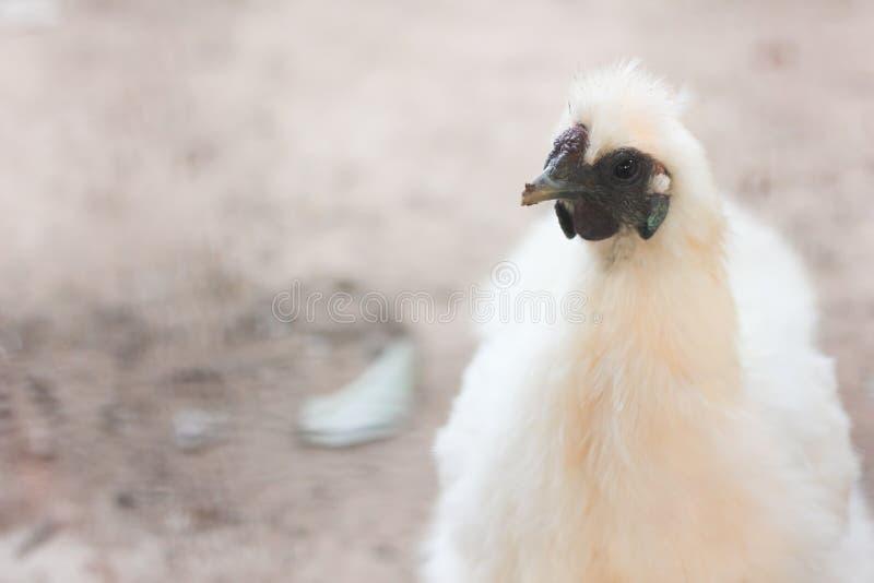 Een kip vindt wat voedsel stock foto's