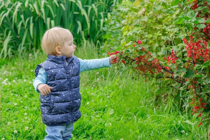 Een klein blondemeisje in de tuin geniet rode aalbes van bessen rechtstreeks plukkend hen van de struik royalty-vrije stock afbeeldingen