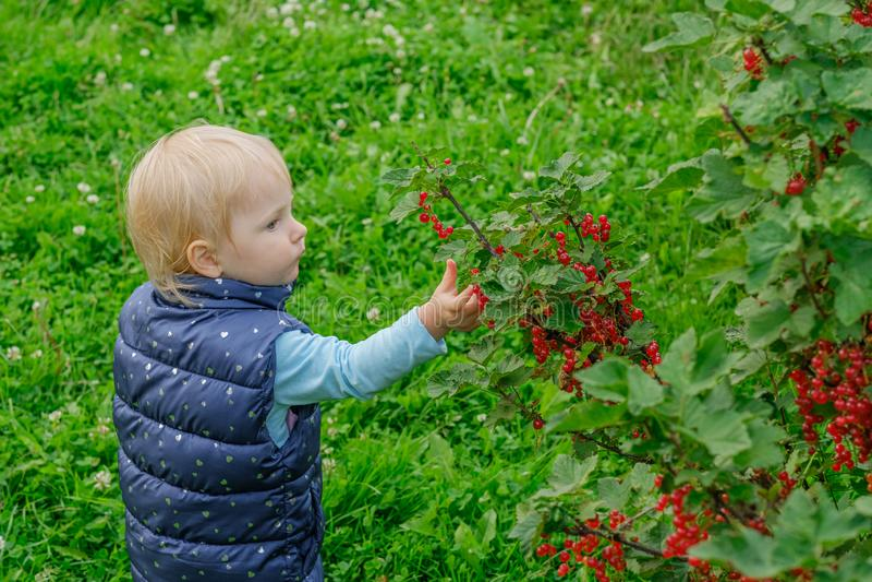 Een klein blondemeisje in de tuin geniet rode aalbes van bessen rechtstreeks plukkend hen van de struik royalty-vrije stock afbeelding