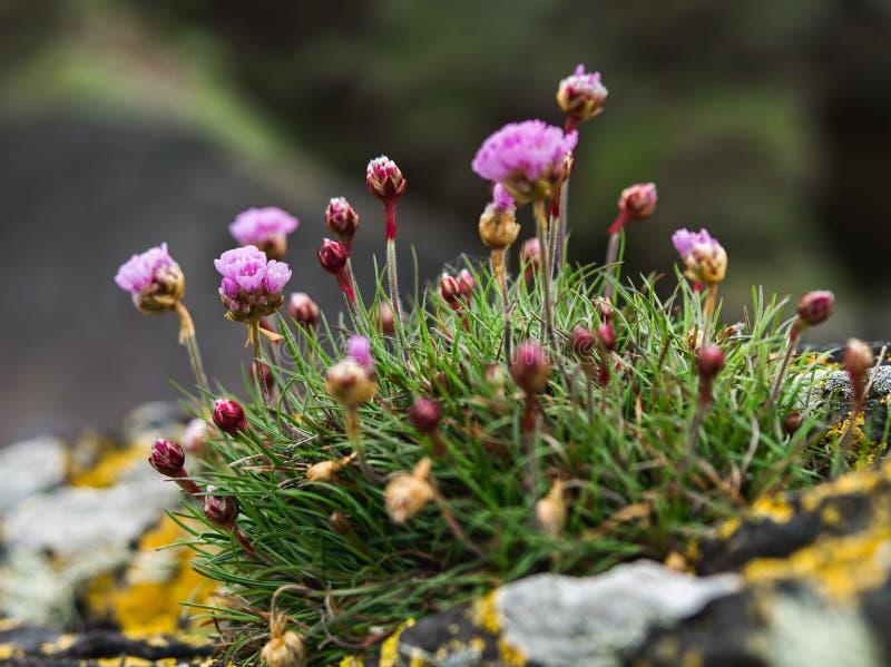 Een Klein Bosje van Roze Zuinigheidsbloemen royalty-vrije stock fotografie