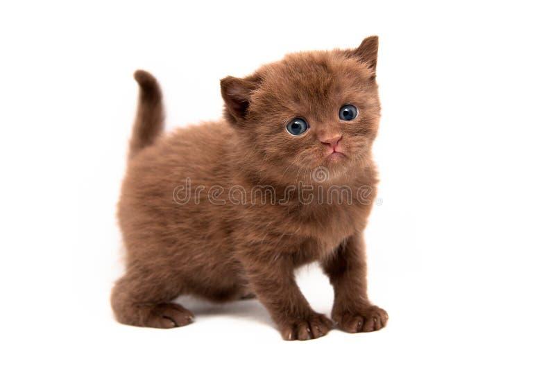 Een klein chocolade Brits katje bevindt zich in volledige die hoogte op een witte achtergrond wordt geïsoleerd en onderzoekt de c royalty-vrije stock foto