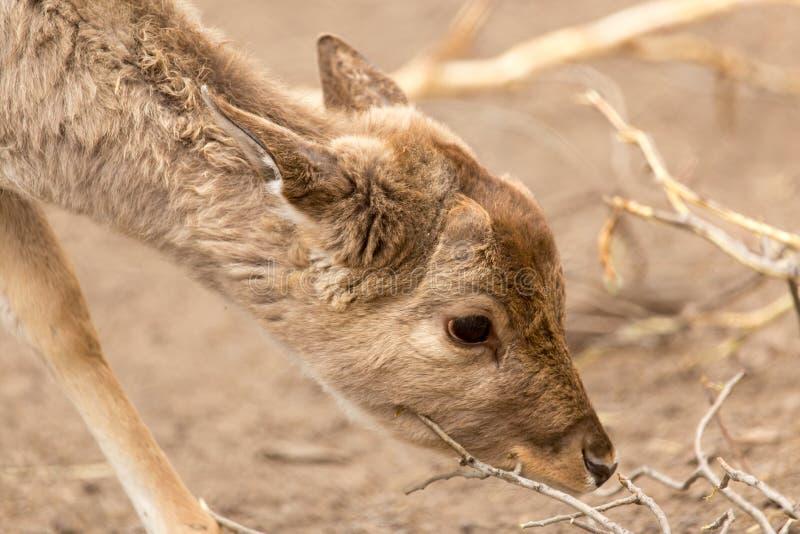 Een klein hert in het park stock fotografie