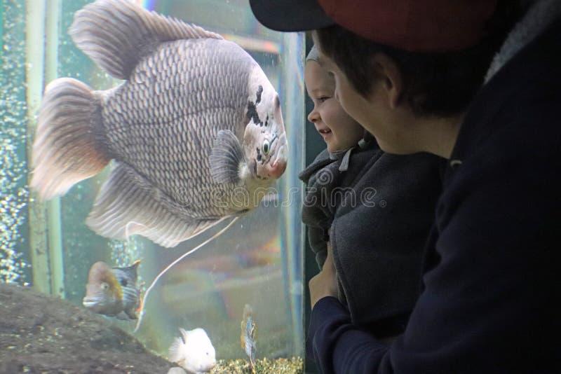 Een klein kind en zijn vader die enthousiast op de grote vissen in het aquarium letten stock afbeelding