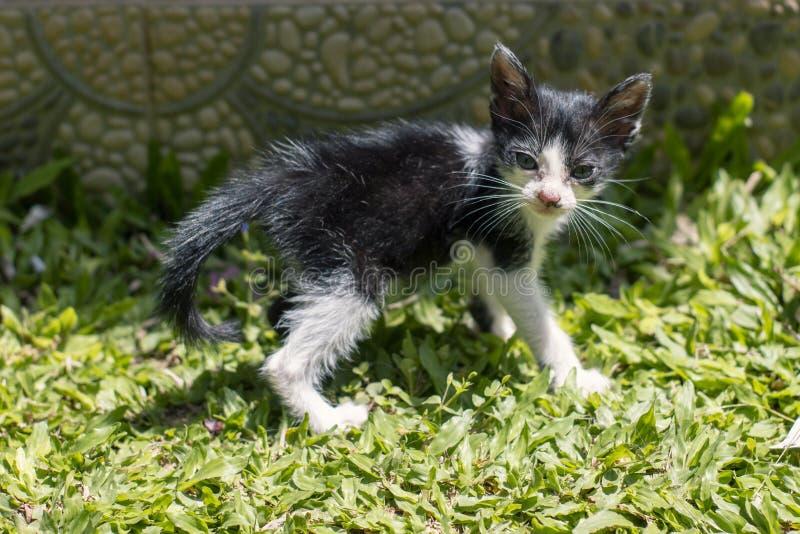 Een klein leuk zwart-wit katje die op het groene gras dichtbij het huis en de draaien rondwandelen royalty-vrije stock foto