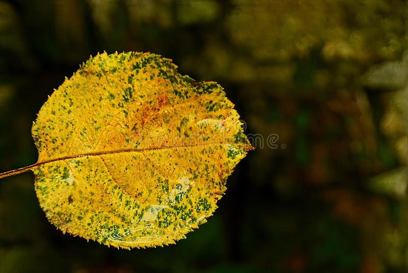 Een klein, nat, gevallen blad van gele kleur royalty-vrije stock afbeelding