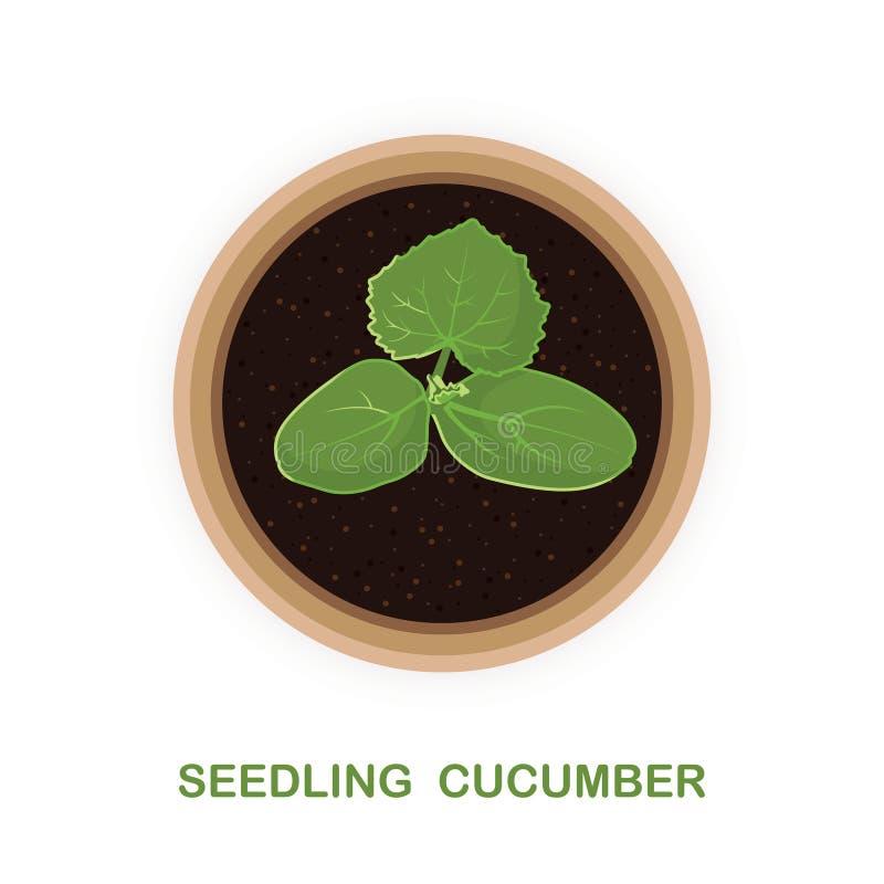 Een klein proces van komkommer Zaailingen in een pot Illustratie vector illustratie
