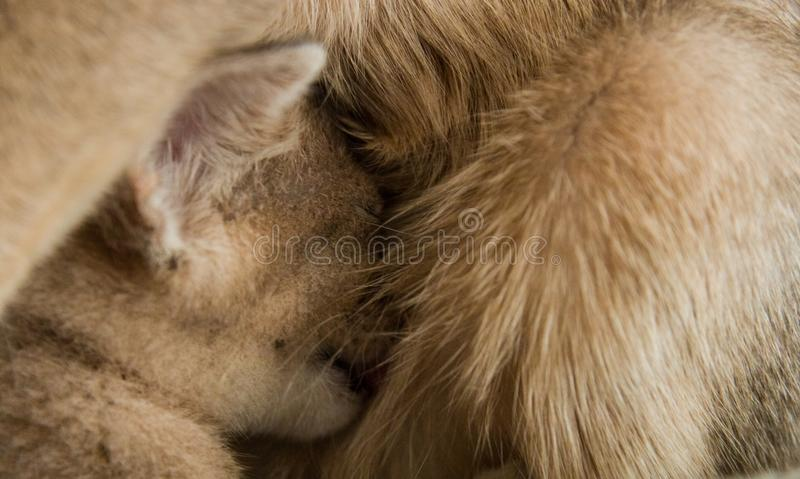 Een klein ras van katjesabyssinian drinkt melk van moederkat stock fotografie