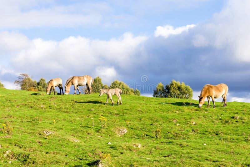 Een klein veulen onder andere Przewalski-wild paarden in het Hooglandwild Safari Park, Schotland royalty-vrije stock foto