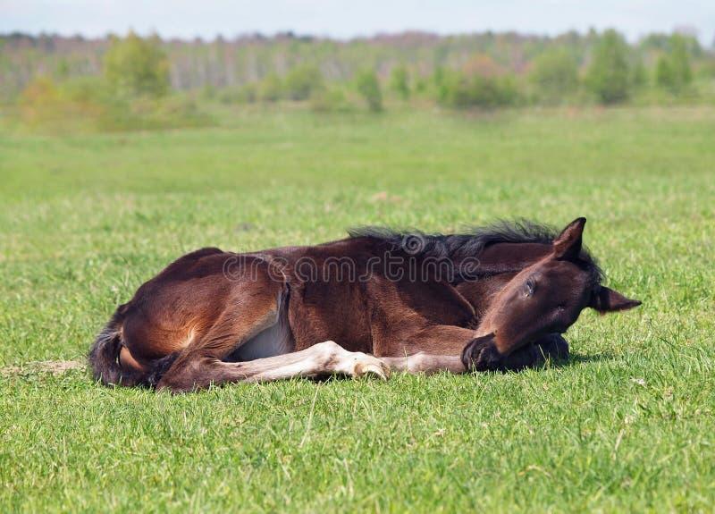 Een klein veulen rust op een gazon stock foto's