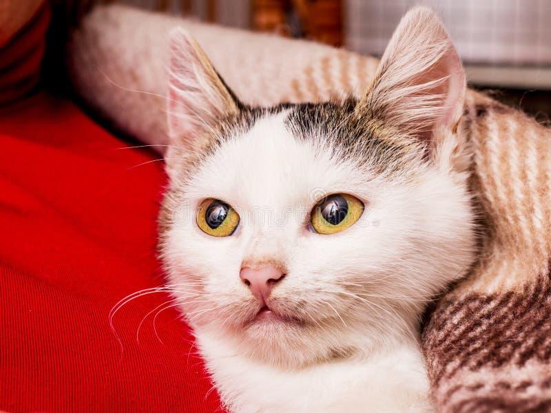 Een klein wit katje met grote ogen wordt verwarmd onder een plaid van hallo royalty-vrije stock fotografie