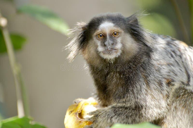 Een kleine aap met een droevige blik stock afbeeldingen